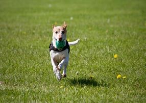 Small white dog with ball in mouth, running in green grass park