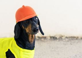 Tan and black Dachshund wearing yellow hard hat